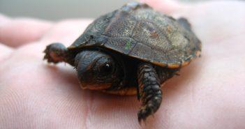 Hình nền rùa con dễ thương