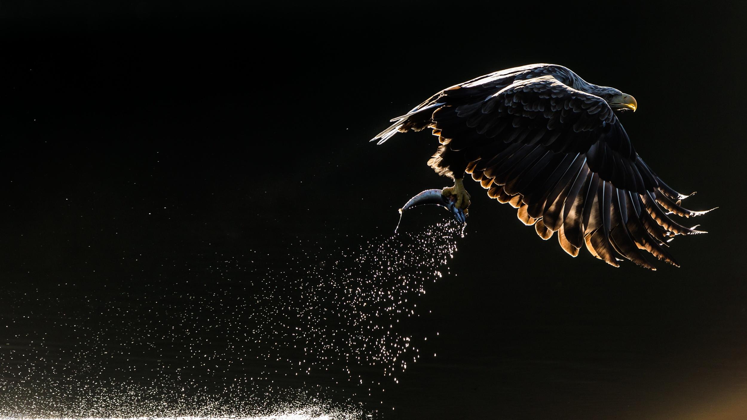Hình nền chim đại bàng đẹp