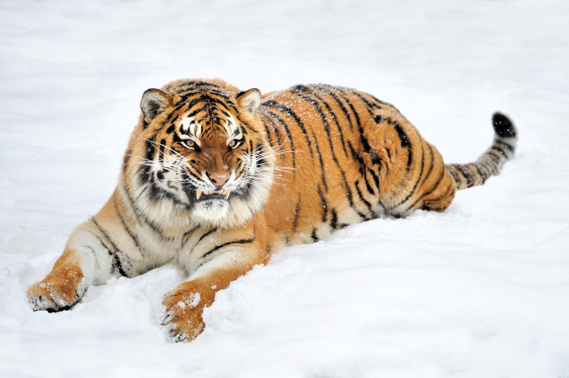 tải hình nền tiger con hổ