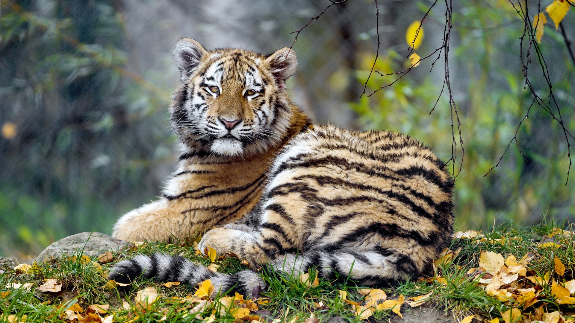 ảnh con hổ đẹp