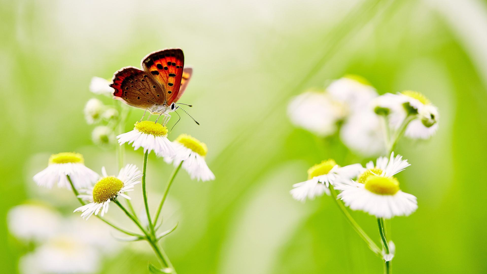 Hình nền máy tính bươm bướm